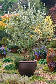 Monrovia's Majestic Beauty® Fruitless Olive details and information. Learn more about Monrovia plants and best practices for best possible plant performance. Patio Trees, Potted Trees, Garden Trees, Trees To Plant, Garden Pots, Container Plants, Container Gardening, Garden Design, Landscape Design