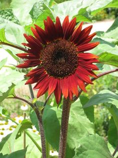 Sunflower Types, Types Of Sunflowers, Plants, Image, Plant, Planting, Planets