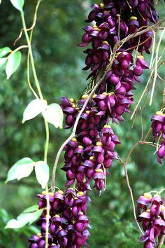 トビカズラ Mucuna sempervirens : 鳥平の自然だより(植物編)