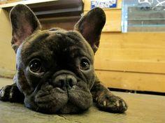 Frenchton= French Bulldog/Boston Terrier mix. I want one.