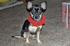 Bonzo blog: Two chihuahuas share the good life with artist mom - #dogs #pets