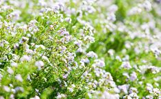 One of the best garden shrubs is the diosma. It grows as a round tidy plant with masses of pink…