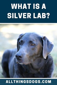 What is a Silver Lab? Many people think that there are only three types of Labrador Retriever: black, yellow and chocolate. However, more color variations do exist. A Silver Labrador has a silver-grey-blue colored coat. Read on to learn more about them.  #silverlab #whatisasilverlab #silverlabrador