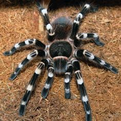 Acanthoscurria geniculata and brocklehursti are on my list as they are hearty eaters and so beautiful. Creepy Animals, Cute Animals, Pet Tarantula, Pet Spider, Itsy Bitsy Spider, Beautiful Bugs, Insect Art, Bugs And Insects, Exotic Pets