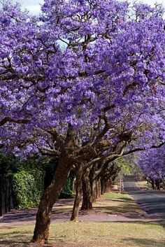 Jacaranda trees lining the street in Pretoria, South Africa -- they are not indigenous, but they have become naturalised