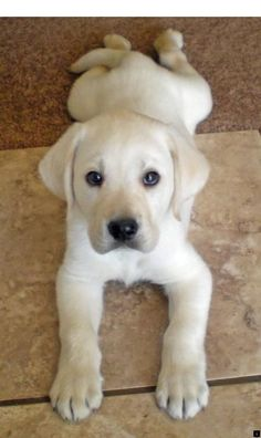 Mind Blowing Facts About Labrador Retrievers And Ideas. Amazing Facts About Labrador Retrievers And Ideas. Cute Puppies, Cute Dogs, Dogs And Puppies, Doggies, White Lab Puppies, Yellow Labrador Puppies, Labrador Dogs, Corgi Puppies, Beagle