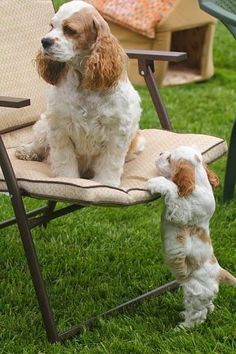 Cutest Cocker Spaniel mother and puppy