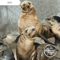 A few of the many sea lions rescued during the #2015SeaLionCrisis are catching some rays at SeaWorld's rehabilitation center! #365DaysOfRescue