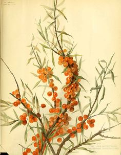 203108 Elaeagnus rhamnoides (L.) A.Nelson [as Hippophae rhamnoides L.]  / The garden. An illustrated weekly journal of horticulture in all its branches [ed. William Robinson], vol. 49:  (1896)