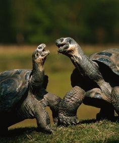 ♥ Pet Turtle ♥  Galapagos tortoises.