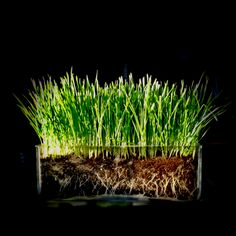 Clear glass to see the roots of the wheat grass is kind of neat! Potted Plants, Indoor Plants, Baseball Birthday Party, Flora Design, Mini Gardens, Wheat Grass, Glass Containers, Bar Mitzvah, Plant Based Diet