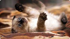 chaton siamois jouant