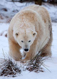 230 - Polar bear | Flickr - Photo Sharing!