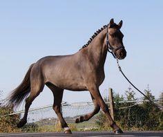 Espectacular pony capa ruano Doma Clásica - HE4489AEA