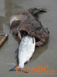 Lingcod Fishing Tips - hpis_16185866