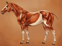 Horse Muscles Reference by =eponagirl on deviantART