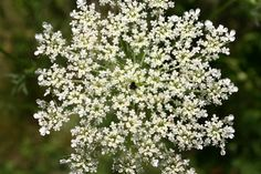 Beautiful weed! Queen Anne's Lace