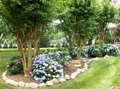 """Endless Summer"" hydrangeas under a crape myrtle planting...along side fence"