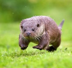 PlaytimebyMark Bridger A little otter having some fun running about …