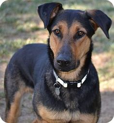 Shepherd-Doberman Mix Dogs on Pinterest | German Shepherd Mix ...