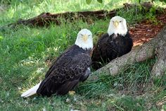 Two Bald Eagles at Rest