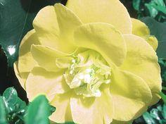 Lemon Camellia - Louise Grant