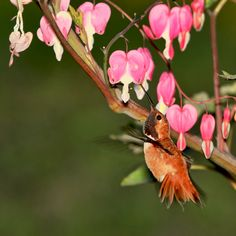 Hummingbirds Flowers They Love | Hummingbird and Bleeding Hearts Flowers