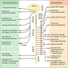 Datei:Das vegetative Nervensystem.jpg