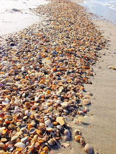 Sea shells on the beach in Cape San Blas, Florida.