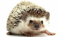 ''Hedgehogs. Why can't they just share the hedge?'' won the accolade for London comic Dan Antopolski, 36, who is known for his surreal stand up routines.
