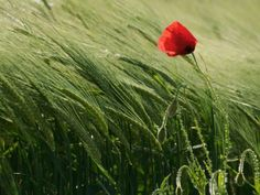 Poppy in Field, Geneva Photograph by Gulen Erendag Legrand, Your Shot