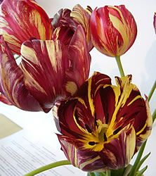 """Rembrandt"""" tulips: the attractive markings were caused by a virus"""