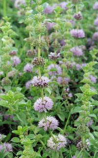 Pennyroyal-A strong but pleasantly scented plant used to repel insects and protect linens.