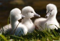 #Baby #Swans #Cygnets #Birds #Animals