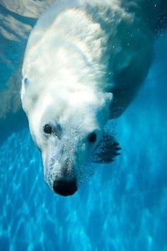 Visit the Pittsburgh Zoo and HOPE to see the Polar bears taking a dip.