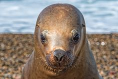 Big Head - Female patagonia sea lion portrait, seal came very close to examinate me on the beach on white foam ocean background
