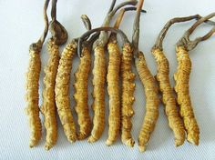 """Cordyceps is the fungus which attacks insects and then grows from their bodies. This ""mushroom"" has been used by Chinese medical practitioners for over three thousand years. The Kings and Queens of China and their aristocracy have sent people into the mountains to search for this rare combination of worm and mushroom"""