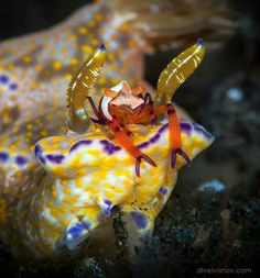 Emperor shrimp hitching a ride on a Nudibranch
