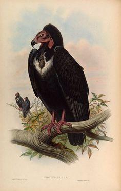 "John Gould : ""Otogyps Calvus. Black Vulture."" (Birds of Asia, 1883) - Giclee Fine Art Print"