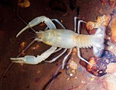Salem Cave Crayfish (Cambarus hubrichti) A white crayfish with a special habitat: It lives in caves in the Ozarks. Its localized distribution makes its populations vulnerable to catastrophes that might pollute or damage their cave environment.