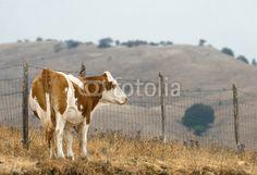 Vitello solitario Calf solitary © Pietro D'Antonio