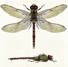 Scientific Illustration | Dragonfly
