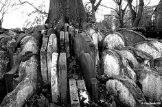 Victorian Gravestones. Apparently this is known as the Thomas Hardy tree. Love the image of tombstones intermingling with tree roots - very Tennysonian.