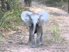 Elephant Calf Charging...so cute!! Cutest thing I've ever seen!