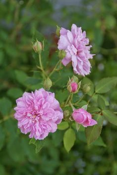 Organic Garden Dreams: August Roses