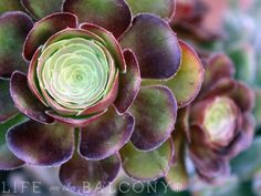 purple and green succulent from the top