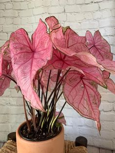 Rethink Your Green Thumb, Because These Houseplants Are Too Pretty and Pink to Ignore Pink Caladium Cool Plants, Potted Plants, Garden Plants, Indoor Plants, Indoor Herbs, House Plants Decor, Plant Decor, Plant Aesthetic, Decoration Plante