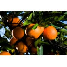 Arizona Sweet Orange Tree medium to large. Fruit small to medium, few seeds. Popular in the Salt River Valley due to its productivity. This variety produces a large yield that are excellent for juicing or peeling. Harvest December to March. Organic Herbs, Organic Oil, Large Backyard Landscaping, Backyard Ideas, Landscaping Ideas, Silver Maple Tree, Tree Wallpaper Nursery, Tree Roots Tattoo, Bush Garden