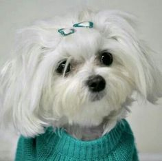 Adorable Teacup Maltese, Teacup Puppies, Maltese Dogs, Dogs And Puppies, Doggies, Cute Little Puppies, Cute Dogs, Adorable Babies, Maltipoo