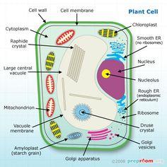 Plant Cells - Biology - Printer Friendly Page - Preproom.org Plasma Membrane, Cell Membrane, Virtual Learning Environment, Learning Environments, Cell Growth, Plant Growth, Simple Plant Cell, Plant And Animal Cells, Cell Wall